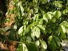 竹山鎮中和里救人老茄苳樹DSCN0196