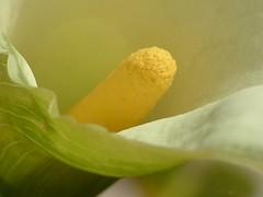 Colori e forme 35 (Ibleo) Tags: flower macro fleur calla fiori colori sicilia forme ragusa ibleo saveearth elgiulio
