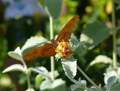 Top of the World (Andrei Dragomir) Tags: arizona flower butterfly spring andrei phoenixbotanicalgarden dragomir andreidragomir