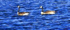 Agua Azul (Outdoor Exposure by Denise) Tags: nature geese canadiangeese creativephoto impressedbeauty impressedbyyourbeauty diamondclassphotographer flickrdiamond
