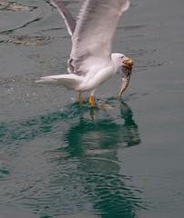 Captured! (cienne45) Tags: friends italy birds seagull gull liguria cienne45 carlonatale explore genoa natale gabbiani exploreexset explore1336