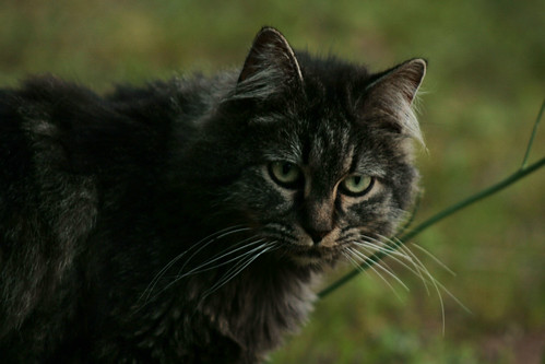 Belana the Half Bobcat Tabby Kitty - IMG_1303