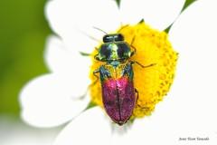 Anthaxia (Anthaxia) dimidiata (Thunberg, 1789) (Jesús Tizón Taracido) Tags: coleoptera polyphaga elateriformia buprestoidea buprestidae buprestinae anthaxiini anthaxiadimidiata