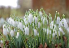 Churchyard Walks Kent (Adam Swaine) Tags: wildflowers snowdrops flora flowers england english britain british canon swaine petals naturelovers nature kent churchyard uk countryside white