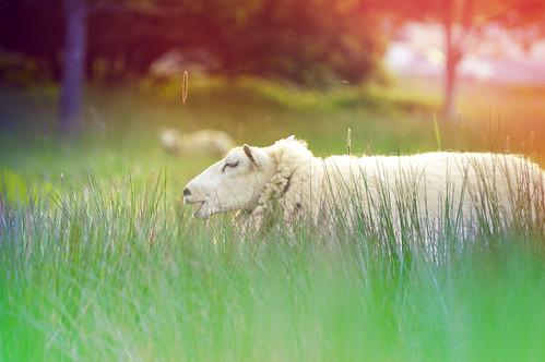 [フリー画像] 動物, 哺乳類, 草原, 羊・ヒツジ, 201106131100
