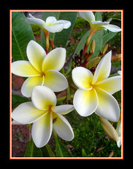 PERFUME DE MULHER (***LEE ***) Tags: flower primavera natureza flor poesia soe naturesfinest blueribbonwinner sopaulo botes shieldofexcellence platinumphoto
