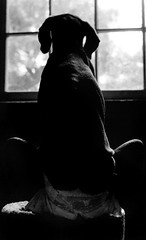 chanhi's little love handles (saikiishiki) Tags: blue portrait bw dog white black love film k analog darkroom 35mm silver grey asahi pentax k1000 bokeh gray weimaraner analogue  ilford 1000  weim greyghost gelatin bwfilm  squidoo blueweimaraner weimie silvergelatinprints thelittledoglaughed chanhi weimaranerart  bwphotogragh handdevelopedfilm handdevelopedbwprint handdevelopedbwphotograph handdevelopednegative waimarana blueweim weimaranerartist weimaranerphotography weimaranerphotographer saikiishiki