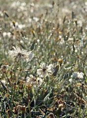 Dew South (ramparts54) Tags: morning backlight wow dof head seed dew washingtonstate dandelions camanoisland naturesfinest shutterup impressedbeauty kclsphotoclub