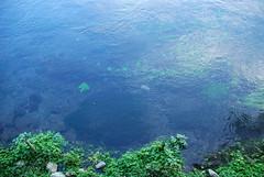 柿田川の透明度:川底が見えます!