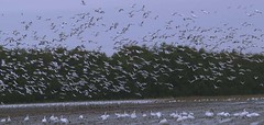 A Whole Lotta Birds (iano50) Tags: birds geese wildlife birders snowgeese beautifulbc migratorybirds harvestime tourismbc fraserdelta olyumpusdigital