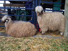 sheep or goats I can't remember
