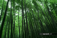 Bamboo forest (wprasek) Tags: trees plants green nature ecology grass ja