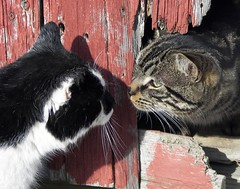 Friend or Foe (JK FARMS) Tags: wood winter shadow red blackandwhite bw snow animals barn cat fight friend kitten feline farm tabby gato angry oldwood enemy foe blackandwhitecat