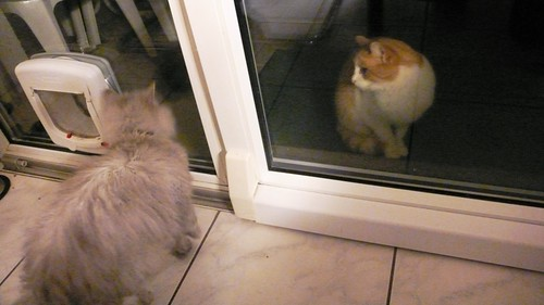 Fluffy looks at the new cat in the neighbourhood with suspicion