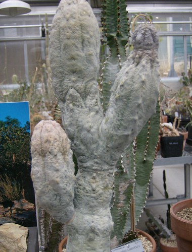 Euphorbia abdelkuri - photo courtesy Flickr user sftrajan
