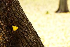 too shy (iku+) Tags: winter tree nature yellow   gingko 2007 fallenleaves