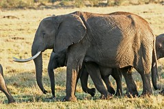 On the Move. (Picture Taker 2) Tags: africa wild elephant nature beautiful animals kids sunrise outdoors colorful pretty babies native wildlife mothers elephants curious wilderness plains upclose onthemove wildebeest newlife wildanimals animalbabies babyanimals africaanimals masimarakenya