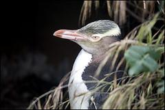 Male Yellow Eyed Penguin, Bushy Beach, Oamaru, New Zealand (laheringer) Tags: ocean newzealand otago oamaru bushybeach penguinhabitat otagonz hoiho megadyptesantipodes yelloweyedpenguincolony borrowedtelephoto70300mmf456lens