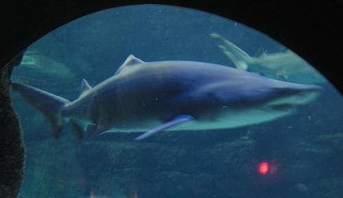 VA Aquarium - Shark