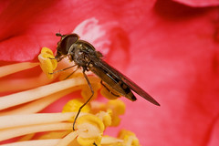 "Feasting Hoverfly(1) • <a style=""font-size:0.8em;"" href=""http://www.flickr.com/photos/57024565@N00/2225940440/"" target=""_blank"">View on Flickr</a>"