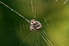 Esperando las visitas (Luis Eduardo ®) Tags: macro spider web cobweb araña seda topic aracnido tela telaraña luismosquera 365venezuela