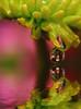 floral drop (jodi_tripp) Tags: pink flower reflection green flood joditripp challengeyouwinner wwwjoditrippcom photographybyjodtripp