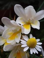 Flores (jjbc) Tags: flowers espaa flores flower garden spain flor jardin rosa petunia narciso terraza jacinto manzanilla maceta geranio bulbo tulipan bulbos clavel fresia alheli gervera