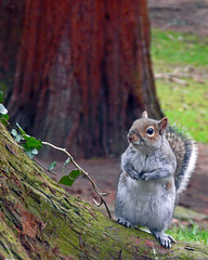 Cheeky Squirrel (Jennifer Lee 79) Tags: nature squirrel coombeabbey fz18