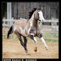 OH Justin Time: Silver Grullo Overo Paint Stallion (Rock and Racehorses) Tags: justin silver paint colt stud stallion gallop galope grullo overo 123pets ohjustintime