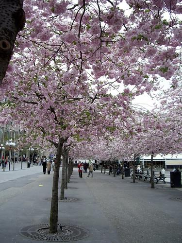 Sakura in Stockholm