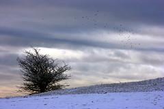 IMG_8671 (jodi_tripp) Tags: snow bush wsuv joditripp challengeyouwinner winter08 wwwjoditrippcom photographybyjodtripp