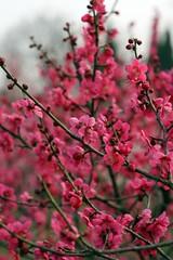 Plum Blossom Festival,Nanjing,China 14 (jimmyleggate) Tags: voyage china travel flowers festival dance chinese nanjing plumblossoms chineseculture plumblossomfestival