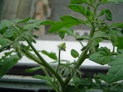 Gartenperle flower