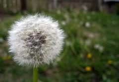 Before (erinsy) Tags: weed dandelion seeds makeawish