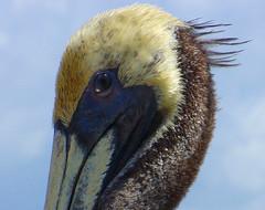 Closeup (Barefoot In Florida) Tags: closeup pelican