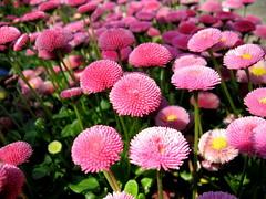 una giornata di colore in Svizzera (spinetta) Tags: ca desktop del si zurich rosa master e poi che svizzera amici con eliane margherite zurigo immagini fiorellini diventano aprono spinavincola