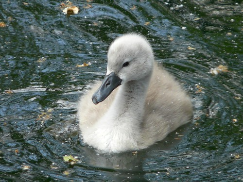 Cygnet on Surrey Water