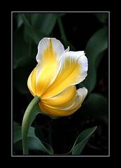 Tulip - Tulipe (243) (LouisY55) Tags: flower fleur tulip tulipe photoquebec lysdor