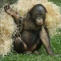 Playing Young Orangutan (Foto Martien) Tags: holland netherlands dutch zoo monkey nederland borneo ape primate aap rhenen affe dierentuin ouwehandsdierenpark pongopygmaeus dierenpark potofgold kalimantan wow1 wow2 wow3 wow4 menschenaffe primat primaat wow5 mensaap borneanorangutan wowhalloffame a350 hominoidea borneoorangutan borneoseorangoetan sonyalpha350 orangutndeborneo ouwehandszoo borneoorangoetan martienuiterweerd menschenartige martienarnhem sonyg70300ssm mygearandme mygearandmepremium martienholland mygearandmebronze mygearandmesilver mygearandmegold orangutankalimantan mygearandmeplatinum mygearandmediamond allnaturesparadise allofnatureswildlifelevel1 allofnatureswildlifelevel2 rememberthatmomentlevel4 rememberthatmomentlevel1 rememberthatmomentlevel2 rememberthatmomentlevel3 rememberthatmomentlevel5 rememberthatmomentlevel6