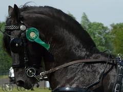 Fries paard (Equus caballus) (Danille Wanders) Tags: horse fries equus paard frisian dhh equuscaballus lunteren caballus frisianhorse tuigpaarden nieuweheuvel denieuweheuvel