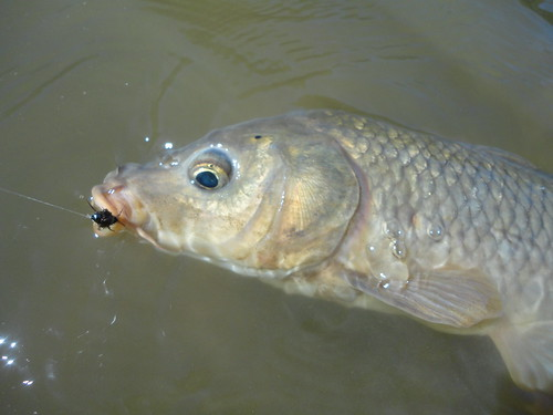 Carp On Nymph