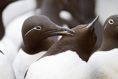Grooming (L.Mikonranta) Tags: bird nature birds norway canon eos is 300mm 7d l usm common f28 ef guillemot murre norja vardø uria aalge varanger canonef300mmf28lisusm hornøya canoneos7d etelänkiisla copyright©lm uriaal