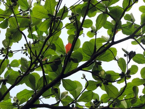 one red leaf in the almond tree 101007