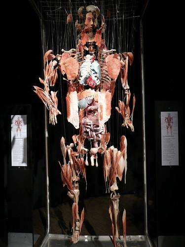 Body Worlds model