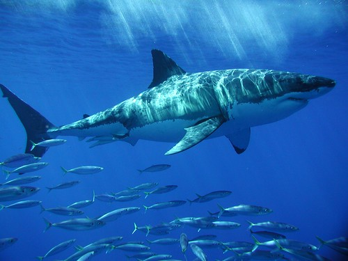 Guadalupe Trip - Great White Shark 7