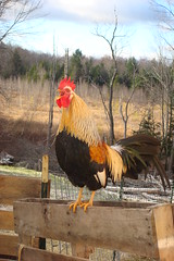 Cock-a-doodle-doo! (LisaNH) Tags: chicken farm nh rooster endangered rare icelandic crowing cockadoodledoo naturesfinest featherfriday animalkingdomelite icelandicchicken mackhillfarm fiveflickrfavs goldstaraward growfood ohkeikur