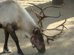 Reindeer at the Los Angeles Zoo