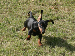 Graceful Puppy (geckoam) Tags: dog pet puppy hotdog dachshund blackdog wiener mocha wienerdog dackel doxie