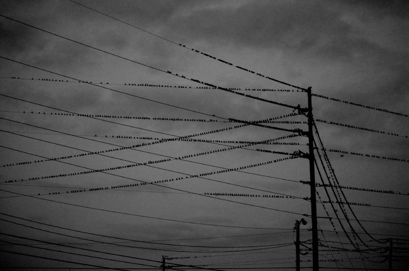 Starlings, Resting