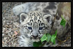 Kleiner Schneeleopard ... little snow leopard (omk1) Tags: baby snow cute animal cub tiere photo jung foto young leopard niedlich ktzchen wilhelma tierfotos schneeleopard animalphotos specanimal golddragon tierkind vosplusbellesphotos